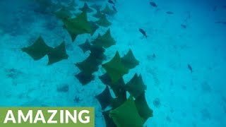 Snorkelers following spotted eagle rays witness incredible sight