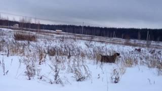 Зимняя охота на куропатку с дратхааром