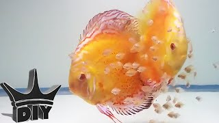 HOW TO: Breed Discus fish(HOW TO BREED DISCUS VIDEO INDEX: (click show more) Where to BUY DISCUS: https://goo.gl/YOo1iR Introduction @0:05 How to sex discus @2:35 How to ..., 2016-04-17T17:07:29.000Z)