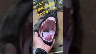 生後8ヵ月ハイエナ あくびで一瞬見える歯がヤバすぎる!Hyena's child The teeth that can be seen for a moment are dangerous