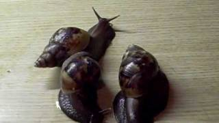 My Giant African snail pet  (Achatina fulica) at 5x speed.