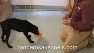 Shaping A Motivational Trained Retrieve - Labrador Puppy