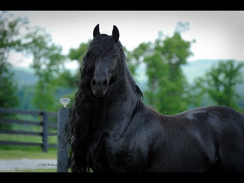BREAKING: World Famous Friesian Stallion is the Star in Upcoming Movie