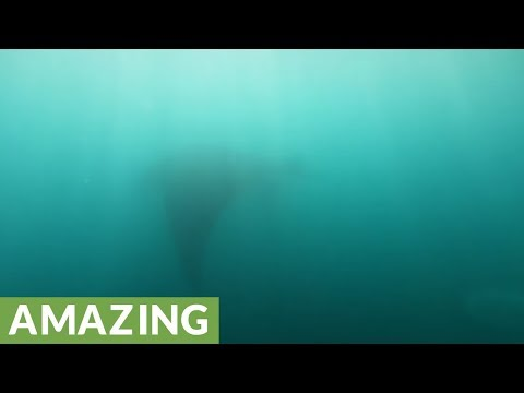 Nervous swimmer realizes beautiful giant manta ray is circling him