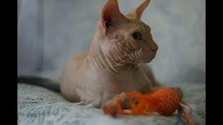 Кошки сфинксы! Милые и строгие!