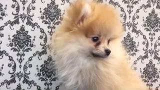 犬種:ポメラニアン 性別:♂ 生年月日:2017/01/08.