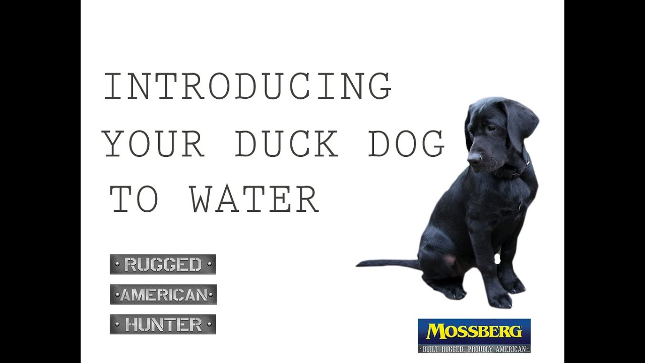How To Introduce A Duck Dog To Water: Training A Retriever To Be A Hunting  Dog