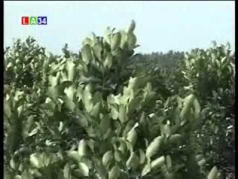 trồng cây mít