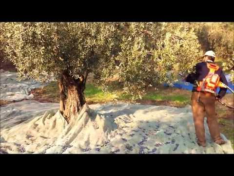 Zeytin Ağacı Nasıl Hızlı Toplanır - Profesyonel Hafif Zeytin Dalı Sarsıcı Makina