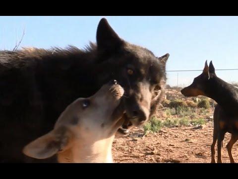 "Wolf & Wolfdog Training: ""Up"" Command w/ Distraction"