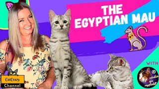 What is the Egyptian Mau cat breed all about?   CatCrazy
