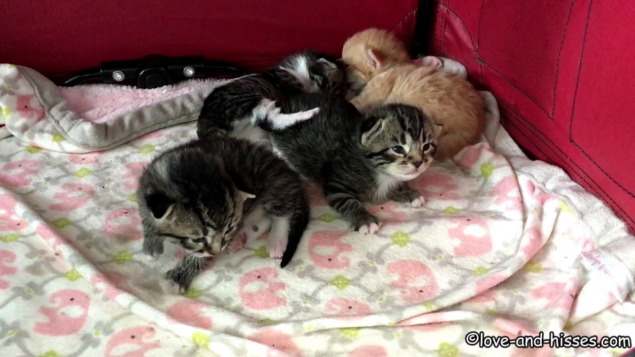 the most adorable 12 day old kittens rolling around like the