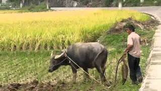 Plowing a rice field traditionally with a Chinese cow