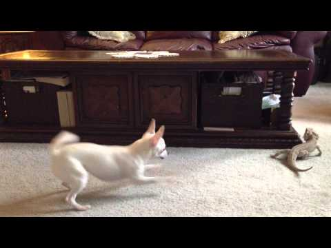 Chihuahua vs Bearded Dragon