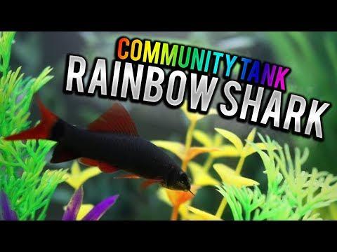Rainbow Shark In Community Tank?