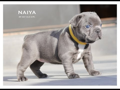 Introducing Naiya The Blue Frenchie!