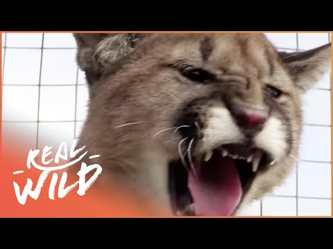 Male And Female Puma's Awkward First Encounter | Wild Things
