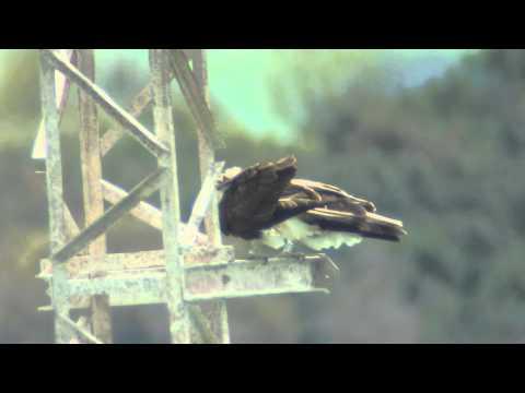 Aguilas pescadoras de Cádiz