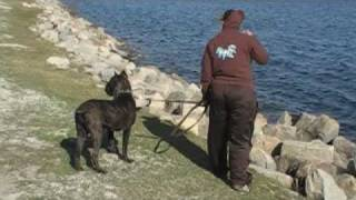 "Cane Corso Puppy ""taboo"" Training"
