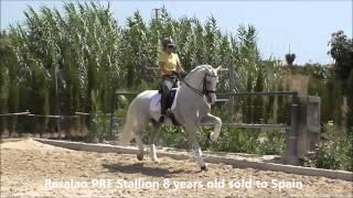 Spanish horse extended trot
