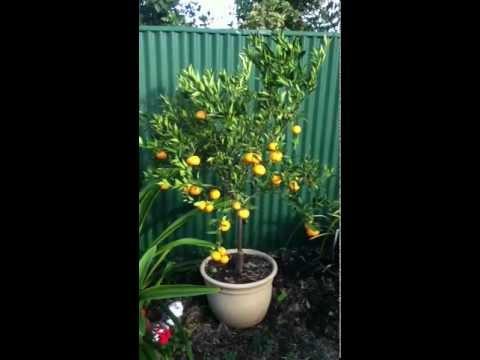 Imperial mandarin tree