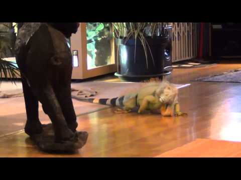 Green Iguana comes when called