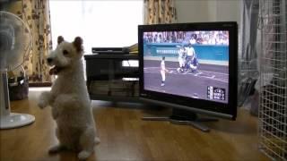 和田ピーチ ワイヤーフォックステリア WADA PEACH wire fox terrier HIR...