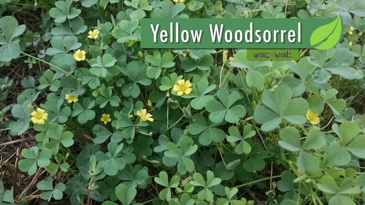 Yellow Clover Weed