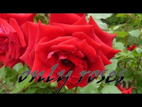 фото шикарные цветы розы