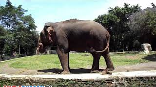 Elephant Ragunan Zoo Animals | Ada Gajah Dibalik Kebun Binatang Ragunan Terbaru