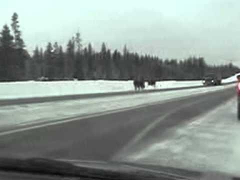 Illegal Yellowstone Bison Hunt 1/27/11