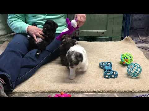 Cinder's Schnoodle Puppies 2/1/19