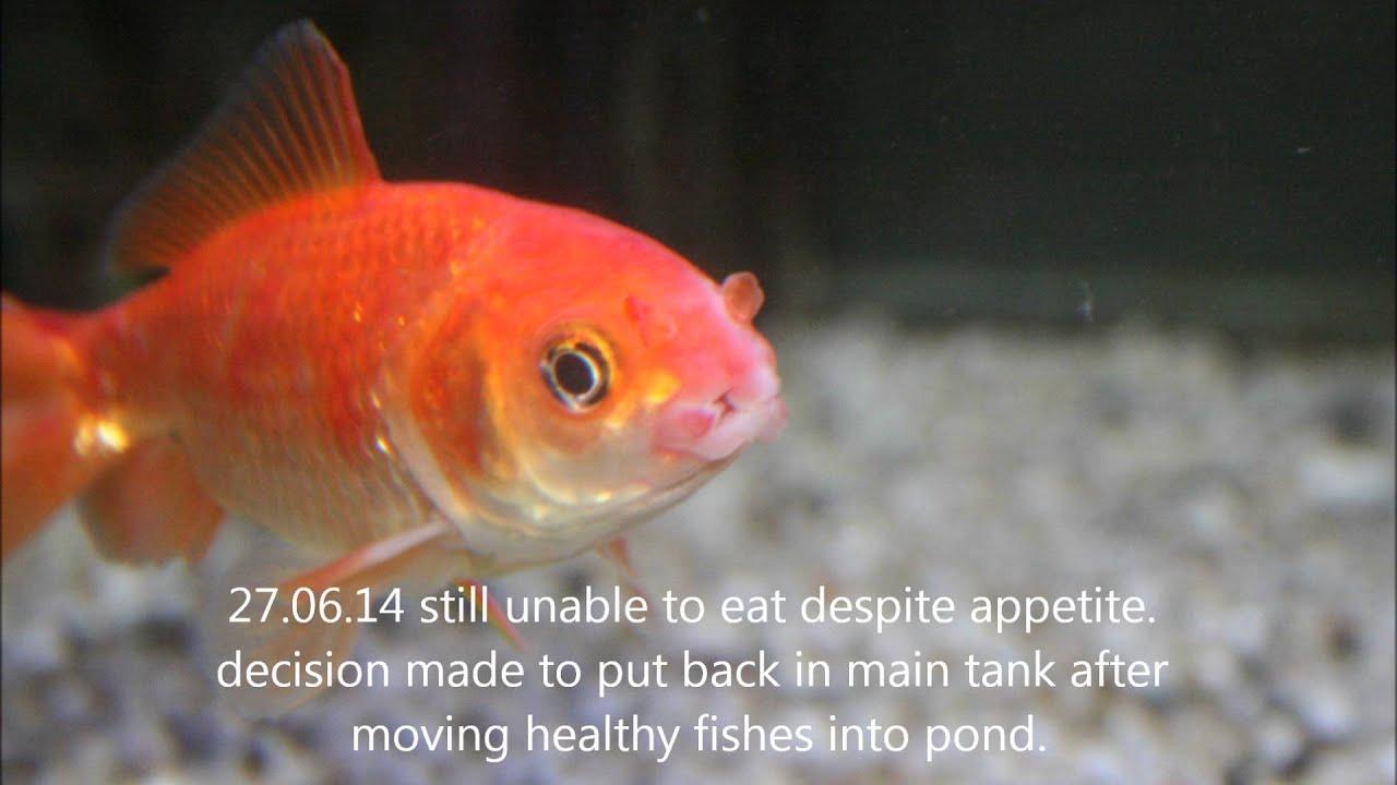 Freshwater fish diseases - Cotton Mouth Disease