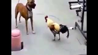 Собака против петуха. Смешные животные