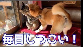 ボス猫クロに色んな小細工をして挑み続ける柴犬ハナの日常    Shiba And Cat