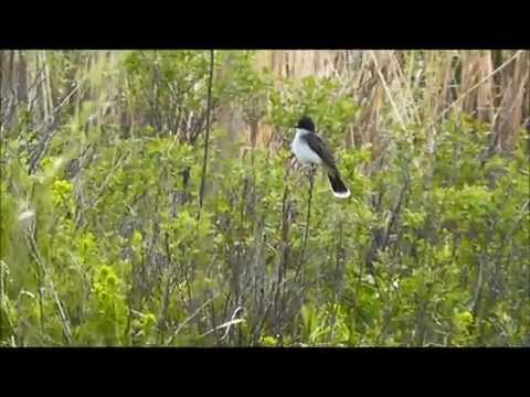 Eastern Kingbird (Tyrannus tyrannus), Bowdoin National Wildlife Refuge, Malta, Montana, USA