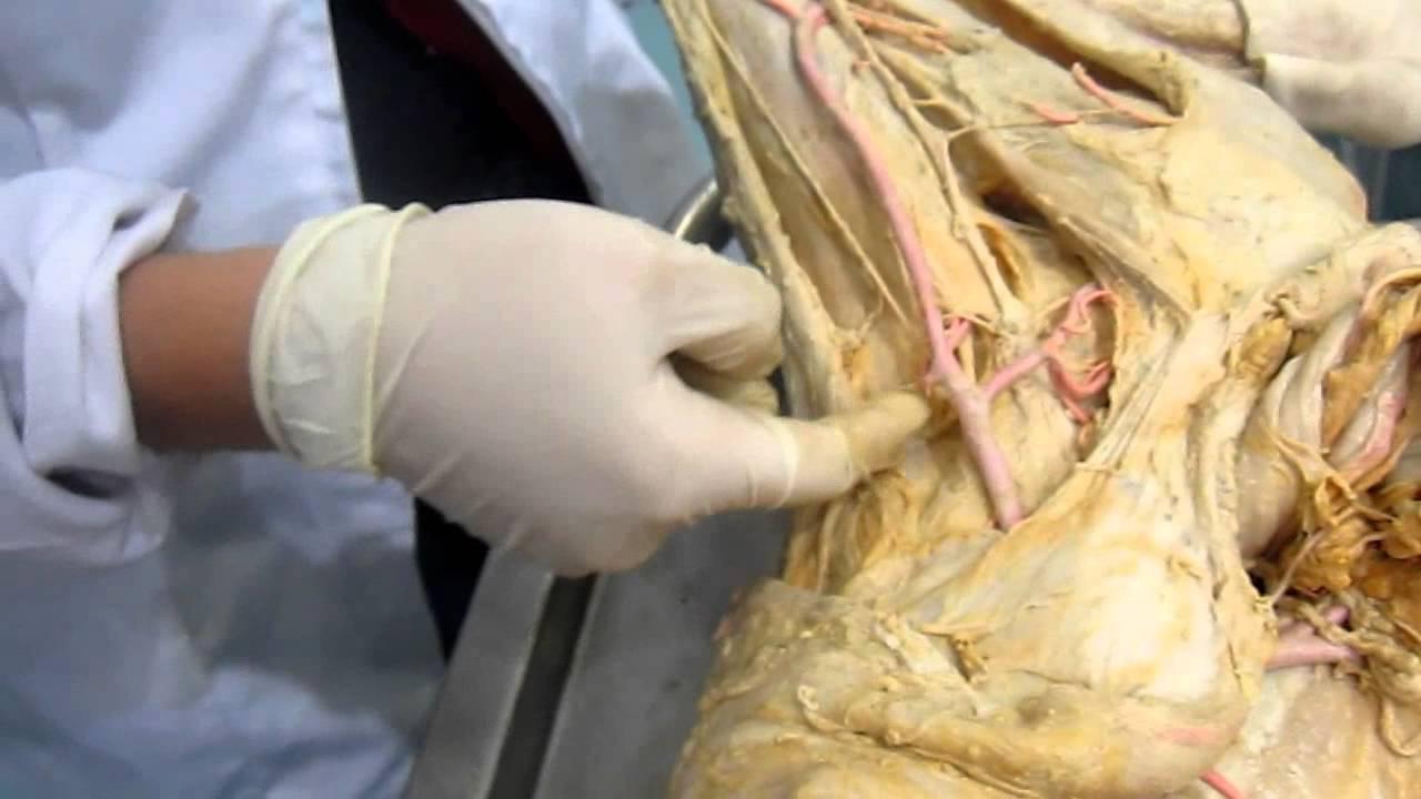 Anatomía veterinaria Vascular Miembro posterior - YouTube