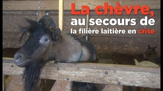 Le lait de chèvre, une alternative au lait de vache?