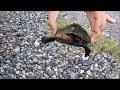 ニホンイシガメ、クサガメ、アカミミガメの比較 の動画、YouTube動画。