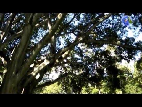 ลัดดาแลนด์ ต้นไม้ใหญ่สุดในโลกต้นอะไร เชียงใหม่ : Big Tree ; Ludda Land, Chaingmai