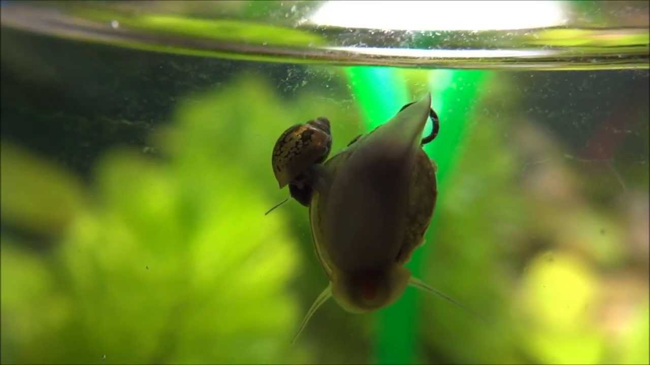 How snails breed in an aquarium 15