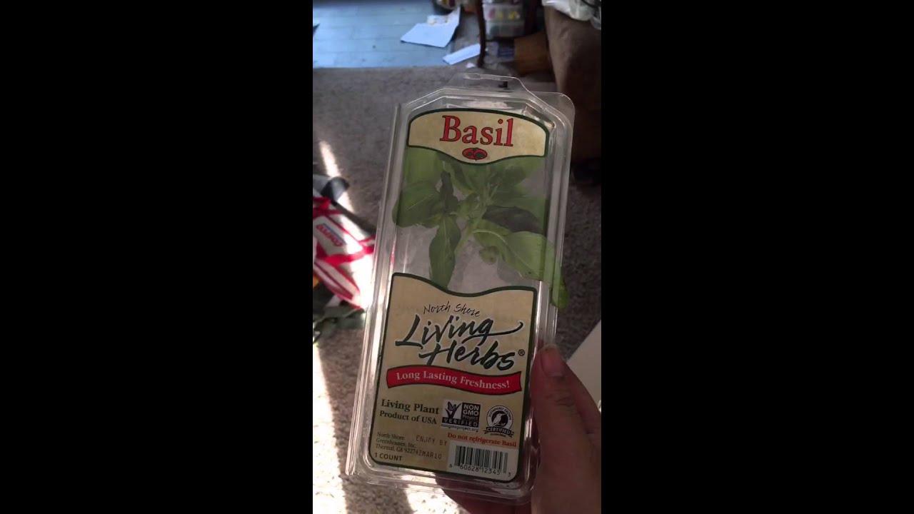 regrowing living herbs basil youtube