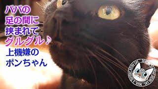 ポンちゃんが喉をグルグル鳴らしパパの足に挟まれる【Jean & Pont 2169】2020/7/2 保護猫 凶暴から甘えん坊へ