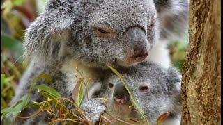 王子動物園のコアラ、モミジおかあさんとミナトくんです。 2014-6-12生...