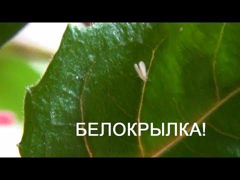 Белокрылка на комнатных растениях.