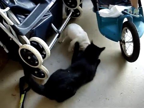 Bulldog vs Cat