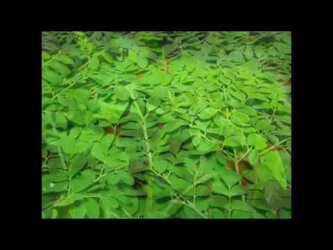 Hình ảnh về cây chùm ngây (moringa) - Cùng xem những giá trị