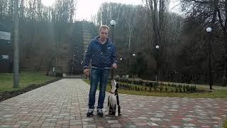 Щенок американского стаффордширского терьера. Дрессировка щенка.