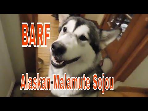Alaskan Malamute Sojou BARF Diet is a beautiful thing