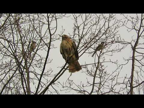 Two red-tailed hawks in Tompkins Square Park, East Village, NYC
